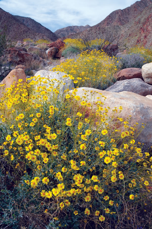 San diego county california smart preservation spring flowers brighten palm canyon in 600000 acre anza borrego desert state park mightylinksfo